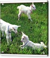 Newborn Goats Acrylic Print