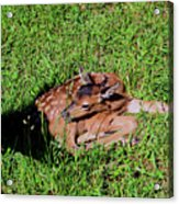 Newborn Red Deer Acrylic Print