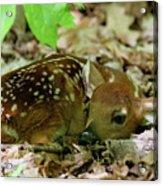 Newborn White-tailed Deer Fawn Acrylic Print