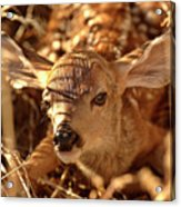 Newly Born Fawn Hiding In A Saskatchewan Field Acrylic Print