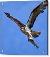 Nice Catch Acrylic Print