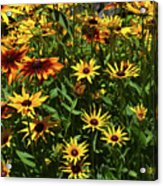 Nice Close Up Of Black Eyed Susans In Nature Acrylic Print