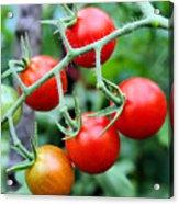 Nice Tomatoes Acrylic Print