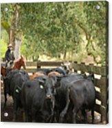 Nick Loading Cattle Acrylic Print