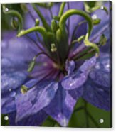 Nigella Damascena 3 Acrylic Print