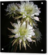 Night Bloomers 4.21 Acrylic Print