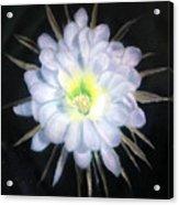 Night Bloomig Cerus Acrylic Print