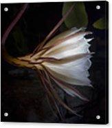 Night Blooming Cereus Acrylic Print