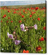 Night Flowering Catchfly And Poppies Acrylic Print