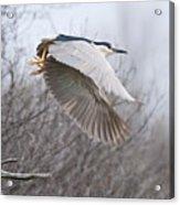 Night Heron In Flight Acrylic Print