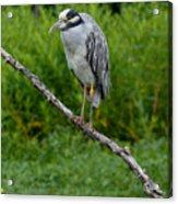 Night Heron On Slim Branch Acrylic Print