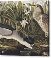 Night Heron Or Qua Bird Acrylic Print