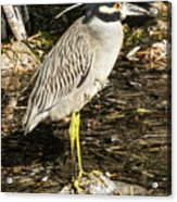 Night Heron Standing On A Rock In Key West Acrylic Print