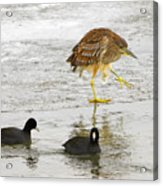 Night Heron With Coots Acrylic Print