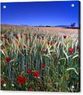 Night Poppies Acrylic Print