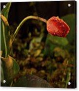 Night Tulip II Acrylic Print