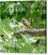 Nightingale In The Wood Acrylic Print