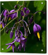 Nightshade Wildflowers #5607 Acrylic Print