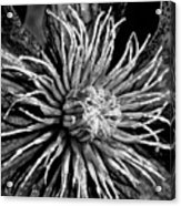 Niobe Clematis Study In Black And White Acrylic Print