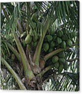 Niu Ola Hiki Coconut Palm Acrylic Print