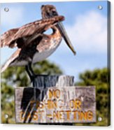 No Fishing Baby Pelican Acrylic Print