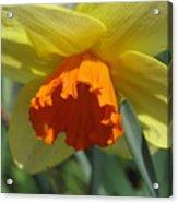 Nodding Daffodil Acrylic Print