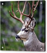 Non-typical Mule Deer Buck Portrait. Acrylic Print