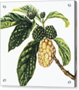Noni Fruit Acrylic Print by Hawaiian Legacy Archive - Printscapes