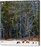 Nooksack Herd Acrylic Print