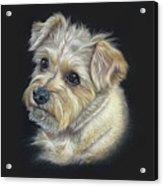 Norfolk Terrier 'hattie' Acrylic Print