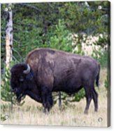 North American Buffalo Grazing Near Edge Of Woods During Late Su Acrylic Print
