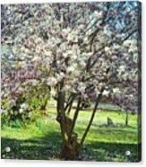 North American Magnolia Tree Acrylic Print