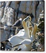 North Atlantic Gannets Acrylic Print