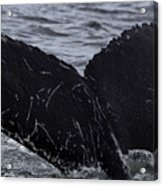 North Atlantic Humpback Acrylic Print