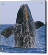 North Atlantic Right Whale Breaching Acrylic Print by Tony Beck