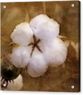 North Carolina Cotton Boll Acrylic Print