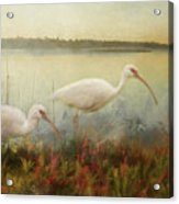 North Carolina Ibis Acrylic Print