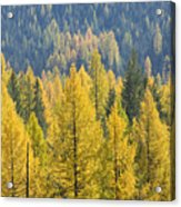 North Idaho Gold Acrylic Print