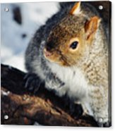 North Pond Squirrel Acrylic Print
