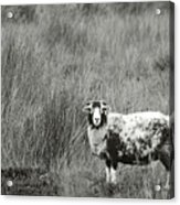North Yorkshire Moors Sheep Acrylic Print