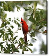 Northern Cardinal - In The Wind Acrylic Print
