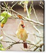 Northern Cardinal Female - Digital Painting Acrylic Print