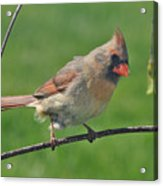Northern Cardinal -female Acrylic Print