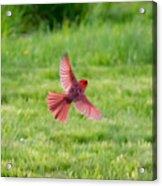Northern Cardinal In Flight Acrylic Print