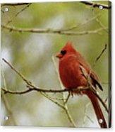 Northern Cardinal Acrylic Print