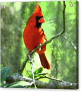 Northern Cardinal Proud Bird Acrylic Print