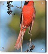 Northern Cardinal With Berry Acrylic Print