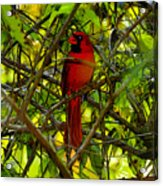 Northern Cardinal Work Number Two Acrylic Print