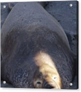 Northern Elephant Seal Acrylic Print
