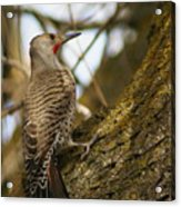 Northern Flicker Woodpecker 1 Acrylic Print